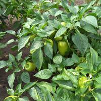 Мы живём в селе, поэтому у нас свой огород. Выращиваем всё. Хочу показать небольшую часть урожая.