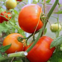 Томат 'Санька' - урожайный и неприхотливый