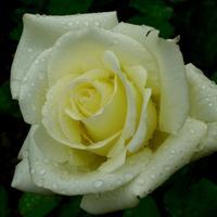 Как укрывать розы на зиму?