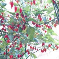Острый перец Biquinho Vermelho, второй год выращивания