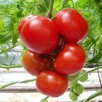 Коротенько о сортотипах томата.