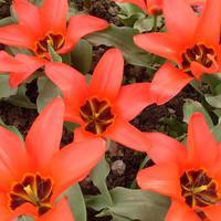 11 лучших сортов тюльпанов Фостера
