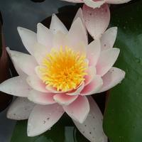 Съедобные растения в оформлении водоема