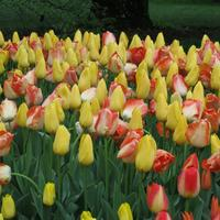 10 примеров удачных сочетаний тюльпанов между собой