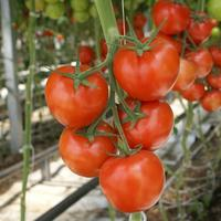 Протестирован новый сверхурожайный сорт томатов Merlice