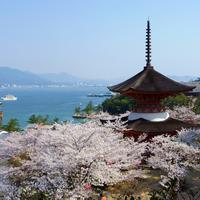 15 марта японцы насладятся фестивалем сакуры