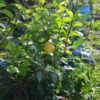 Как мы собрали первый урожай груш