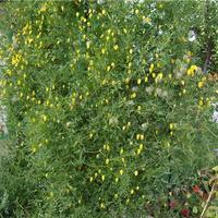 Княжик сибирский - лиана без забот