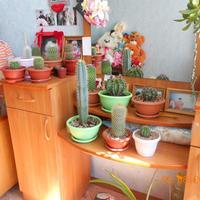 Мои кактусы.