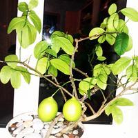 Лимоны на подоконнике