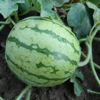 Мой опыт выращивания арбузов в Подмосковье