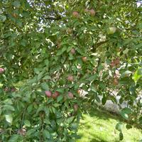 Что за сорт яблони?