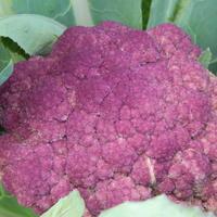 Цветная капуста Пурпурная красавица - настоящий праздник на вашем столе