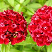 Турецкая гвоздика - прекрасный цветок с пленяющим ароматом
