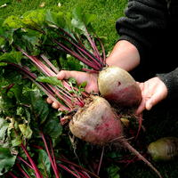 Свекла - вкусный корнеплод, ешь в салате круглый год