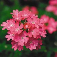 Вербена и петуния — разноцветные красавицы
