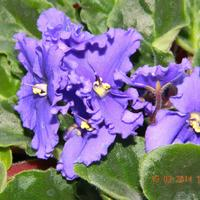 Узамбарская фиалка - это принцесса комнатного цветоводства!