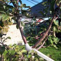 Надломилась ветка яблони. Что можно сделать? И что за черные точки на яблоках? Это болезнь?