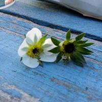 Клубника цветет, но серединка цветка как-будто осыпана или обгрызена. Что с ней?