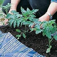 Как правильно выбирать рассаду помидор