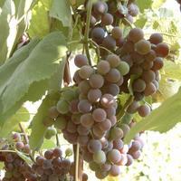 Каждый член семейства рад - поспевает виноград