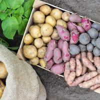 Какие сорта картофеля подходят для выращивания в Харьковской области?
