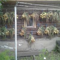 А как вы сушите и храните свой урожай лука?