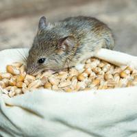 Какой отпугиватель крыс и мышей лучше?