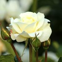 На 7 дач - выходные с розами