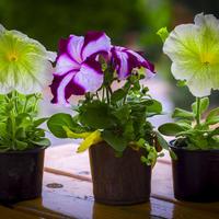 Когда и как правильно посеять петунии на рассаду?