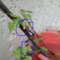Обрывать ли цвет у черенка смородины, поставленного в воду для образования корней?