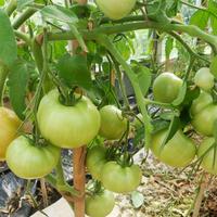 Томат Хали-Гали F1 - плодов много, урожайность отличная