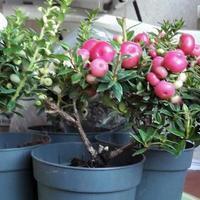 Гаультерия остроконечная - садовая красотка, которая покорила меня с первого взгляда