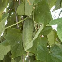 Подскажите, какие сорта огурцов хорошо показали себя в засолке? Что можно посадить на следующий год именно для засолки?