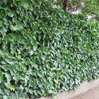 Что это за растение на заборе?