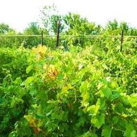 Почему не плодоносит виноград?
