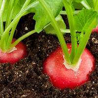 Как вырастить редис на подоконнике