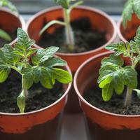 7 вопросов и ответов о здоровой рассаде
