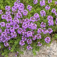 Тимьян в вашем саду: виды и сорта