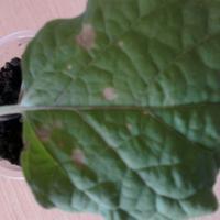 Подскажите, пожалуйста, что за болезнь на листиках рассады баклажанов?