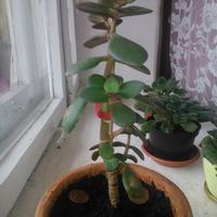Помогите, пожалуйста, вырастить денежное дерево