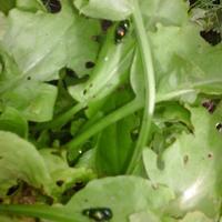 Зелено-перламутровый жучок уничтожает щавель. Кто это и как с ним бороться?