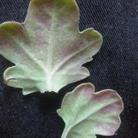 На листьях хризантемы появились такие пятна, вид у растения нездоровый. Что это и как лечить?