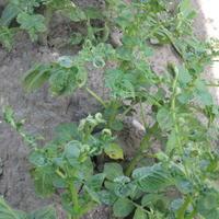 Листья картофеля местами не развиваются, морщинятся и скручиваются лодочкой. Что это и как с этим бороться?