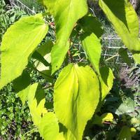 Подскажите, пожалуйста, почему гибискус травянистый салатового цвета?
