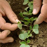 Как прореживание всходов увеличивает урожай