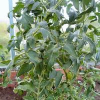 Листья на помидорах стали какими-то выпуклыми, будто их стянули ниткой по прожилкам. Что это?