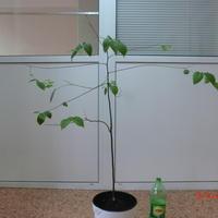 Помогите решить вопрос с выращиванием ховении (конфетного дерева)