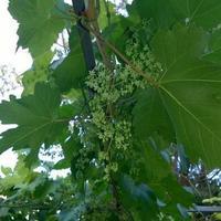 Зацвел виноград осенью. Не вредно ли это для куста? Что делать?