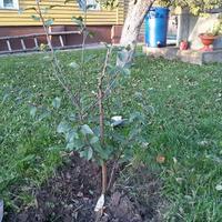 Подскажите, как правильно сформировать молодую яблоню? Центральный ствол высох